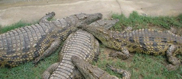 Zulucroc and Wildlife